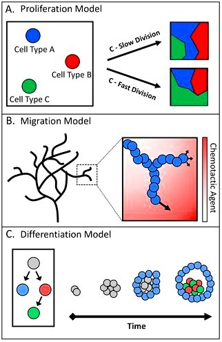 In silico portrayal of cell–cell interactions utilizing a cellular automata type of cell culture BMC Research Notes Full Text